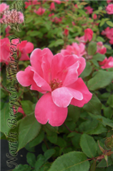 Pink Knock Out® Rose (Rosa 'Radcon') at North Branch Nursery