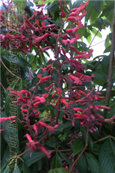 Red Buckeye (Aesculus pavia) at North Branch Nursery