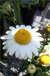 Snowcap Shasta Daisy (Leucanthemum x superbum 'Snowcap') at North Branch Nursery