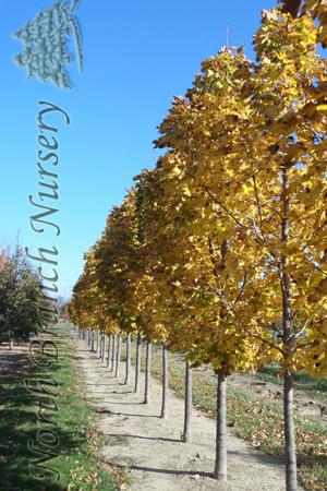 Columnar Norway Maple Acer Platanoides Columnare In Toledo