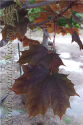 Crimson King Norway Maple (Acer platanoides 'Crimson King') at North Branch Nursery