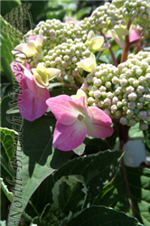 Twist-n-Shout® Hydrangea (Hydrangea macrophylla 'PIIHM-I') at North Branch Nursery
