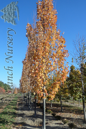 Auctions In Ohio >> Armstrong Maple (Acer x freemanii 'Armstrong') in Toledo ...