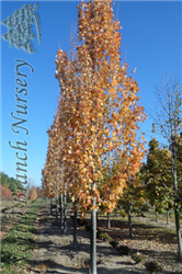 Armstrong Maple (Acer x freemanii 'Armstrong') at North Branch Nursery
