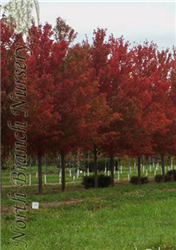 Autumn Flame Red Maple (Acer rubrum 'Autumn Flame') at North Branch Nursery