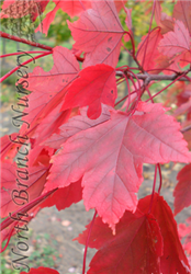 October Glory Red Maple (Acer rubrum 'October Glory') at North Branch Nursery