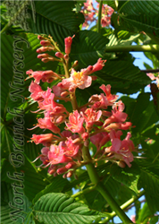 Briotti Red Horsechestnut (Aesculus x carnea 'Briotti') at North Branch Nursery