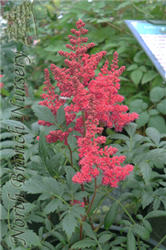 Montgomery Japanese Astilbe (Astilbe japonica 'Montgomery') at North Branch Nursery