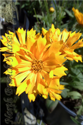 Jethro Tull Tickseed (Coreopsis 'Jethro Tull') at North Branch Nursery