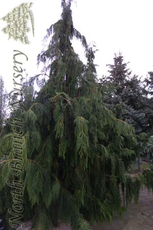 Weeping Nootka Falsecypress Chamaecyparis Nootkatensis