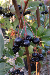 Autumn Magic Black Chokeberry (Aronia melanocarpa 'Autumn Magic') at North Branch Nursery