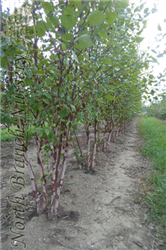Heritage River Birch (Betula nigra 'Heritage') at North Branch Nursery