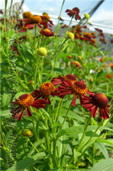 Ruby Tuesday Sneezeweed (Helenium 'Ruby Tuesday') at North Branch Nursery