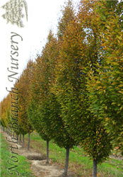 Pyramidal European Hornbeam (Carpinus betulus 'Fastigiata') at North Branch Nursery