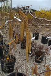 Harry Lauder's Walking Stick (Corylus avellana 'Contorta') at North Branch Nursery