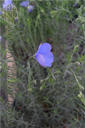 Sapphire Perennial Flax (Linum perenne 'Sapphire') at North Branch Nursery