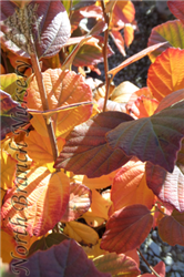 Mt. Airy Fothergilla (Fothergilla major 'Mt. Airy') at North Branch Nursery