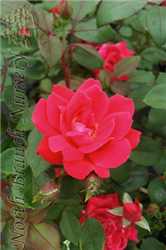 Double Knock Out® Rose (Rosa 'Radtko') at North Branch Nursery