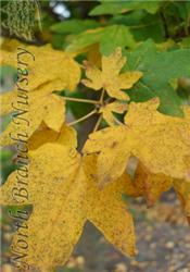 Hedge Maple (Acer campestre) at North Branch Nursery