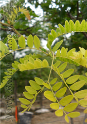 Sunburst Honeylocust (Gleditsia triacanthos 'Suncole') at North Branch Nursery