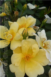 Sunny Knock Out® Rose (Rosa 'Radsunny') at North Branch Nursery
