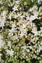 Thundercloud Stonecrop (Sedum 'Thundercloud') at North Branch Nursery