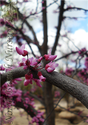 Eastern Redbud (Cercis canadensis) at North Branch Nursery