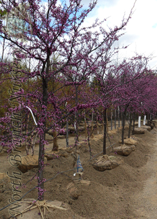 Eastern Redbud Cercis Canadensis At North Branch Nursery