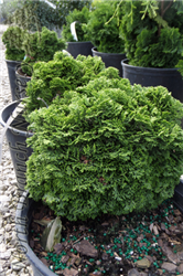 Nana Dwarf Hinoki Falsecypress (Chamaecyparis obtusa 'Nana') at North Branch Nursery