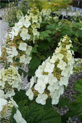 Snow Queen Hydrangea (Hydrangea quercifolia 'Snow Queen') at North Branch Nursery
