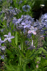 Blue Ice Star Flower (Amsonia tabernaemontana 'Blue Ice') at North Branch Nursery