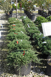Blue Rug Juniper (Juniperus horizontalis 'Wiltonii') at North Branch Nursery