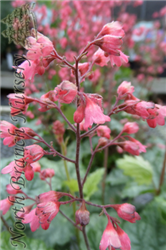Paris Coral Bells (Heuchera 'Paris') at North Branch Nursery